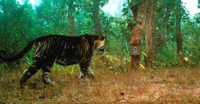 """孟加拉虎!印度动物园有全球唯一一只""""黑老虎"""""""