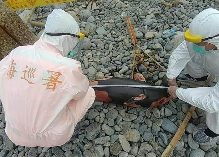 """台湾马祖东引中柱堤北面海岸发现""""微笑天使""""窄脊露脊鼠海豚尸体"""
