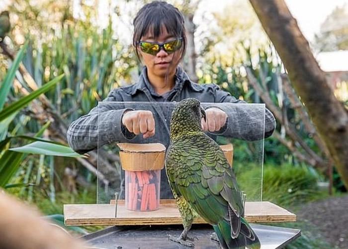 """新西兰奥克兰大学研究首次发现鸟类""""啄羊鹦鹉""""懂得理解概率 为猿类以外首见"""