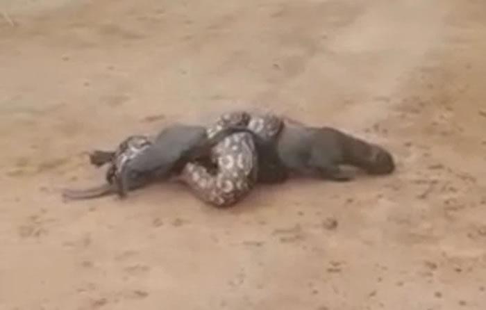 阿根廷西萨尔塔省超巨大蟒蛇试图将一只细腰猫勒死