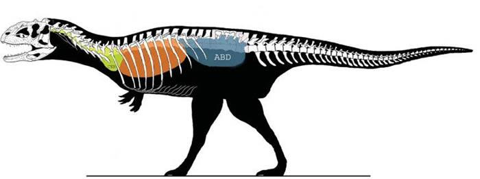 兽脚类恐龙体内的气囊(引自O'Connor, 2006)