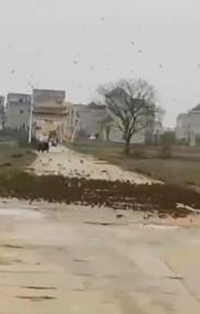 """江西省鄱阳县三庙前乡出现""""雀泛""""怪像 上万只麻雀形成""""鸟墙""""挡在村庄对外道路上"""