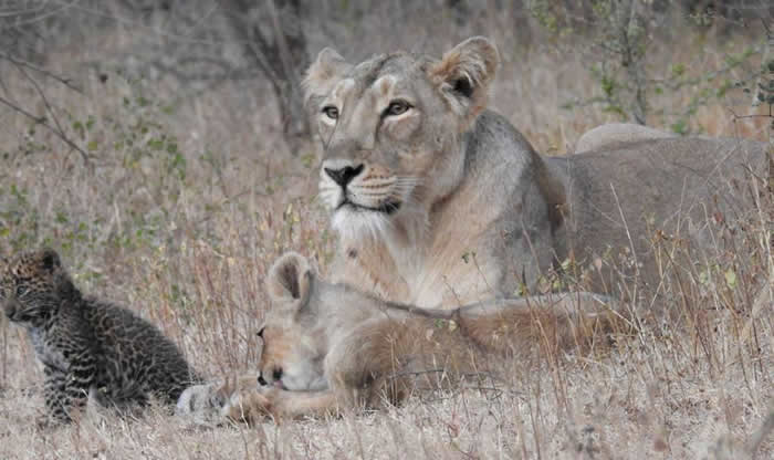 印度吉尔国家公园母亚洲狮掳走花豹孤儿 但接着下来的场景让科学家震惊