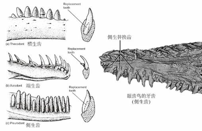 爬行动物牙齿着生方式[4] 。左列从上至下依次为:槽生齿、端生齿、侧生齿。右图是眼齿鸟的牙齿,为侧生齿。