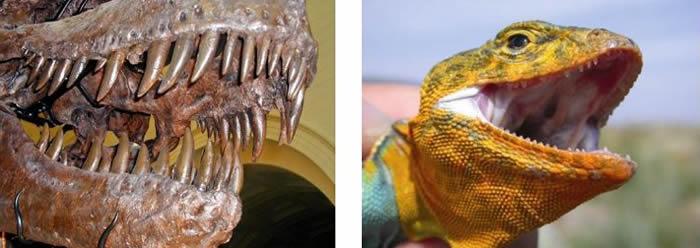 (左)霸王龙的牙齿(来源:pintrest.com);(右)环颈蜥的牙齿(A.K. Lappin摄)