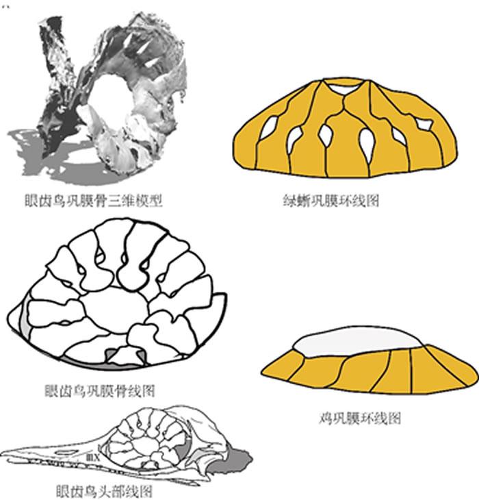 巩膜骨形态对比。对比可见眼齿鸟的巩膜骨与绿蜥巩膜骨形状相似,而与鸡巩膜骨极为不同。