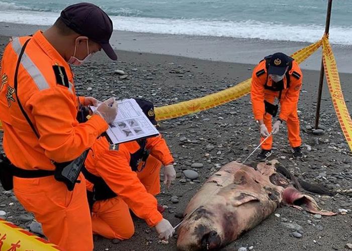 被误认为海狮 台湾花莲市新城乡崇德海滩抹香鲸搁浅死亡