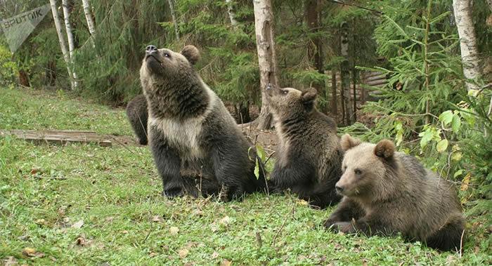"""俄罗斯滨海边疆区""""豹之乡""""国家公园使用相机陷阱首次统计保护区内熊的数量"""