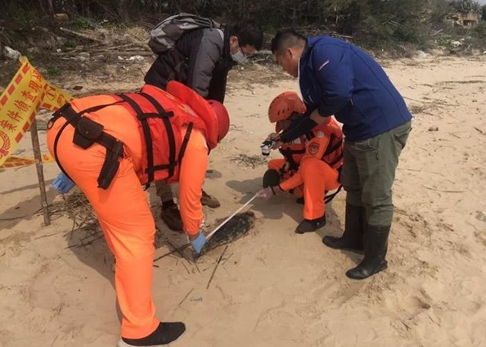 台湾金门县金沙镇海山美岸沙滩上发现一具未脱奶海豚尸体