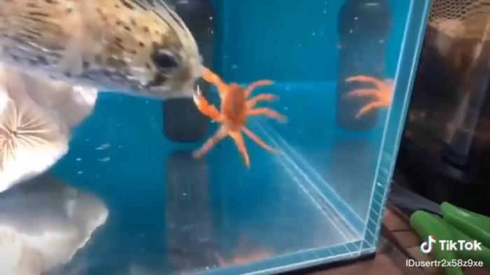 螃蟹绝地反击KO河豚