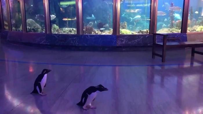 美国芝加哥的谢德水族馆跳岩企鹅夫妇大摇大摆到处逛 超开心情景萌翻网民