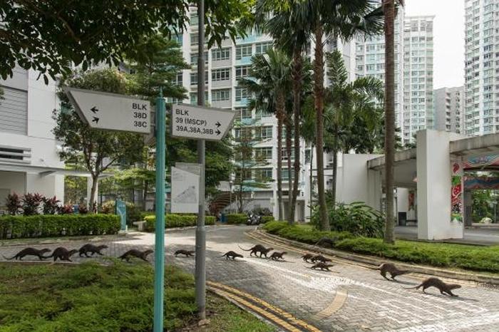 新加坡的水獭家族都拥有自己的名称。 照片中的「碧山家族」正在穿越市中心的马路。 PHOTOGRAPH BY STEFANO UNTERTHINER