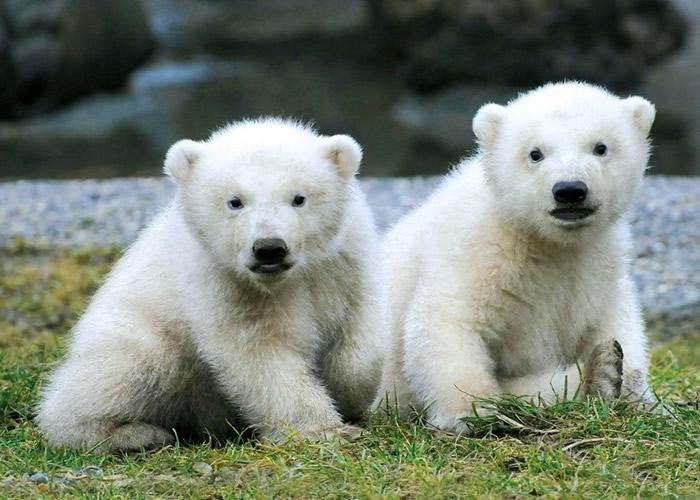 荷兰欧维汉动物园一对3个半月大的双胞胎北极熊幼崽首次公开亮相