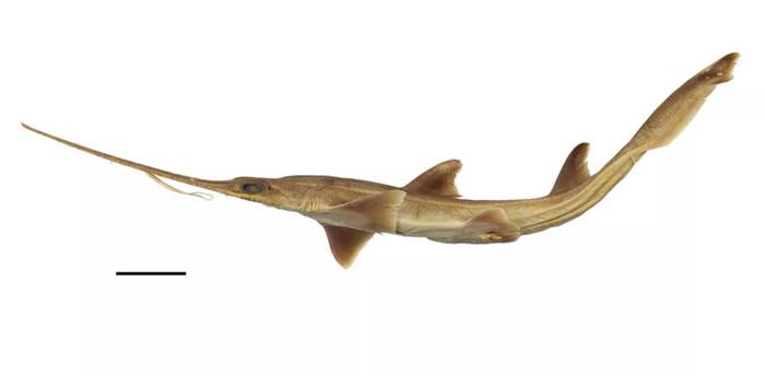 《PLOS ONE》:在西印度洋发现的两种新锯鲨物种 每侧有6个鳃裂