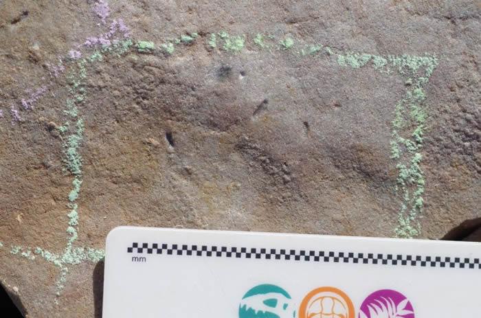5.5亿年前这个豌豆形状的生物Ikaria wariootia可能是所有人类的祖先