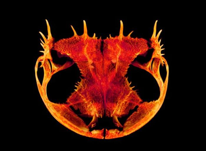 青蛙进化出具有极其不寻常的头骨