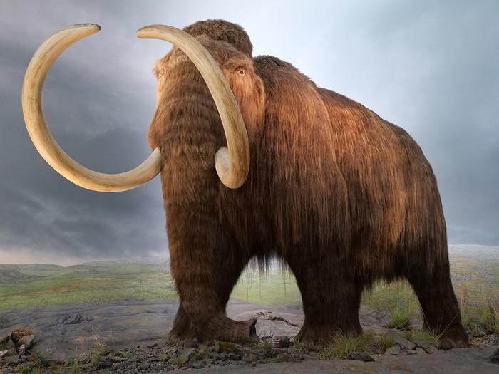 4000年前生活在西伯利亚弗兰格尔岛上的侏儒猛犸受到基因问题困扰 闻不到花朵的气味