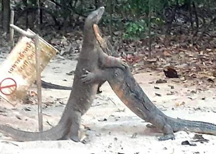 泰国喀比府直辖县Than Bok Khorani国家公园3只巨蜥疑为争地盘大打出手