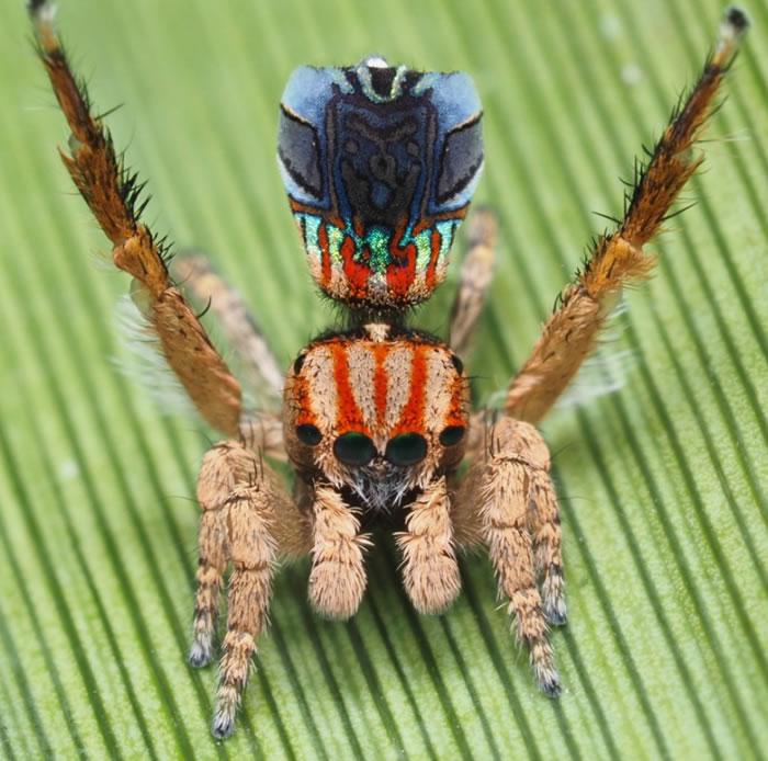 《Zootaxa》:澳洲发现七种新的色彩斑斓的微型孔雀蜘蛛