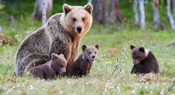 俄罗斯鄂木斯克州波利舍列奇耶动物园棕熊冬眠后第一次现身 还带出三只期间出生的幼崽