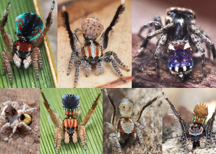 《ZOOTAXA》:澳洲发现7个新品种微型孔雀蜘蛛 腹部图案似梵高名作《星夜》