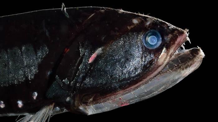 尽管被认为是地球上数量最丰富的脊椎动物之一,但人们对于栖息在海洋边缘地带的钻光鱼的种类却知之甚少。图片来源:Solvin Zankl/NPL