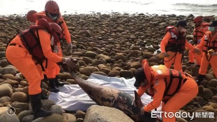 台湾苗栗县通霄精盐厂后方海岸区发现保育类江豚搁浅死亡