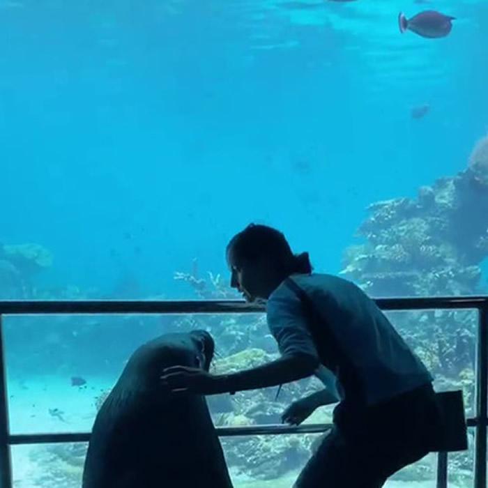"""澳洲海洋世界水族馆疫情关闭 海狮趁机出笼拜访热带鱼、魟鱼和其他水族馆""""同事"""""""