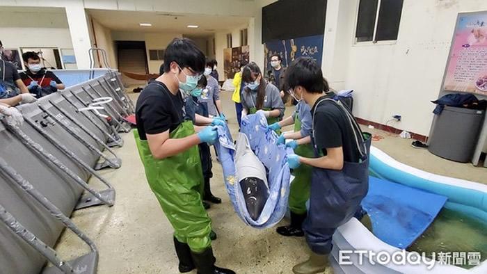 小花纹海豚被鲨鱼攻击搁浅台湾苏澳 获救后发出海豚音