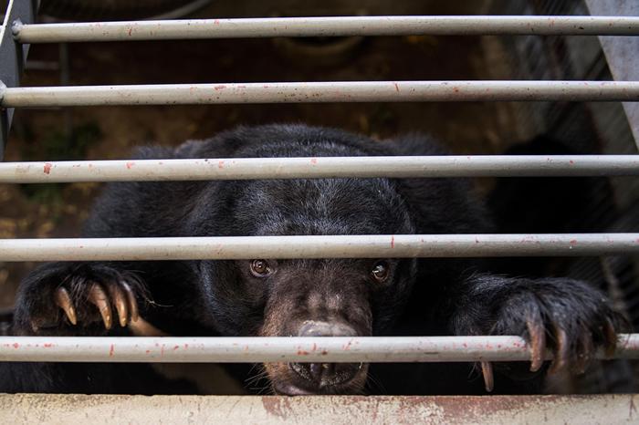 在中国及东南亚的养熊场,用于传统药物的熊胆会以一根导管、针筒或输送管插入熊的胆囊里抽取出来──这是一种侵入性又痛苦的过程。 2017年有一千多头熊从越南的非法熊