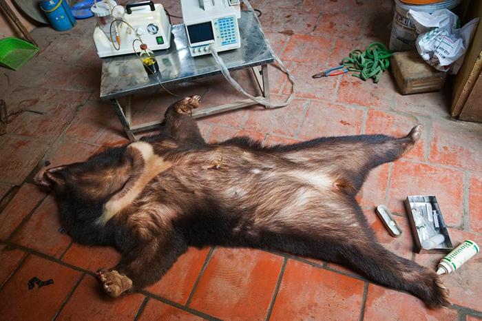 胆汁从一头被镇静的亚洲黑熊胆囊里抽取出来。 根据非营利组织亚洲动物基金的数据,因为疾病在熊胆养殖场很常见,所以来自病熊的胆汁可能被血液、粪便、脓、尿液,以及或许