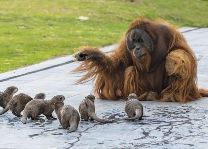 比利时布吕热莱特市天堂动物园红毛猩猩家庭与亚洲小爪水獭一家和谐相处