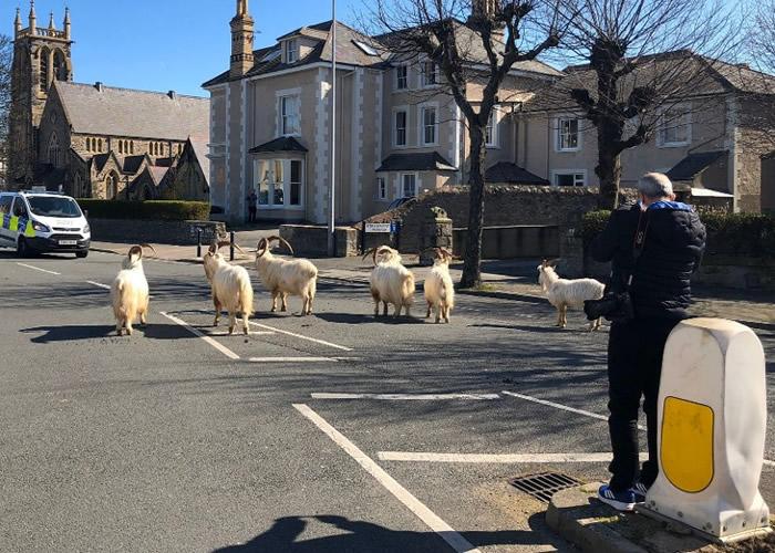 英国威尔斯沿海小镇现奇景 山羊群横行参观人类生活