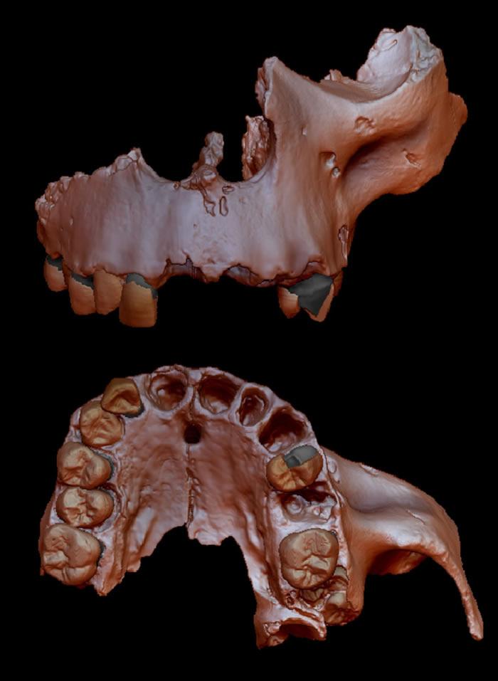 牙釉质研究显示先驱人与智人、尼安德特人和丹尼索瓦人最后的共同祖先关系紧密