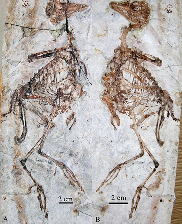 呼伦贝尔兴安鸟模式标本正、负模(标本保存于河北地质大学博物馆)