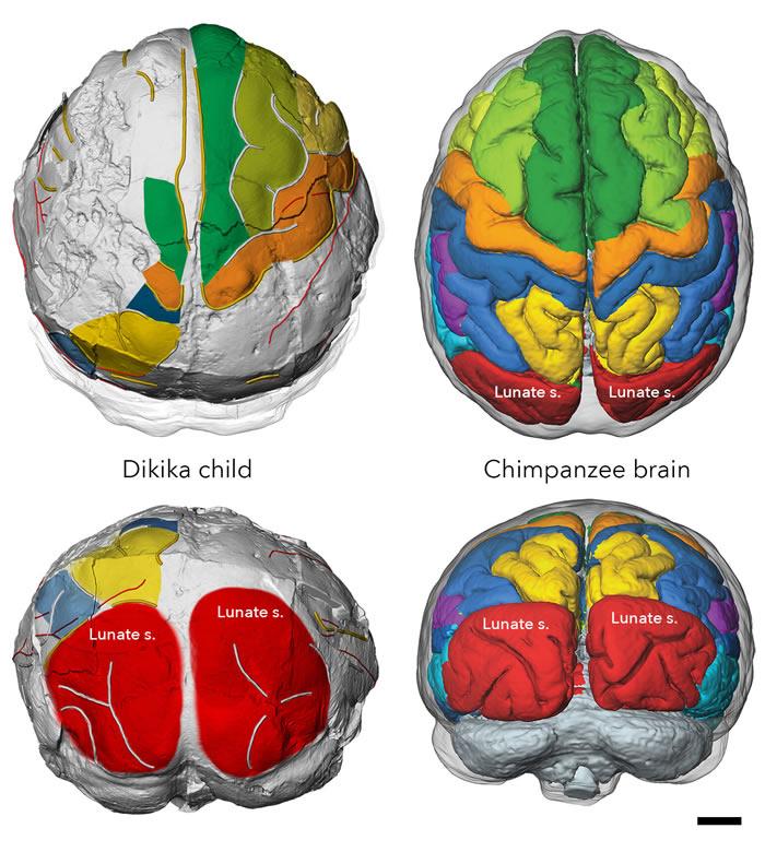 300万年前人类祖先阿法南方古猿大脑与类人猿相似 但却像人类大脑一样发育缓慢