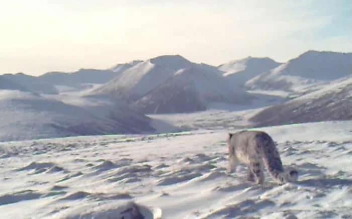 青海西宁首次捕捉到国家一级保护动物雪豹的踪迹 在大通北川河源区国家级自然保护区内