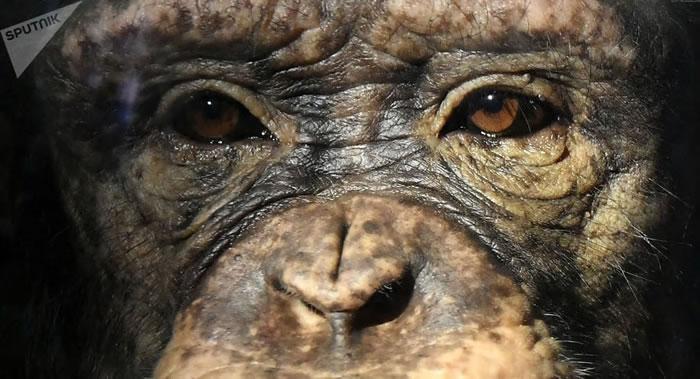美国新墨西哥大学科学家研究发现黑猩猩和人类的衰老过程相似
