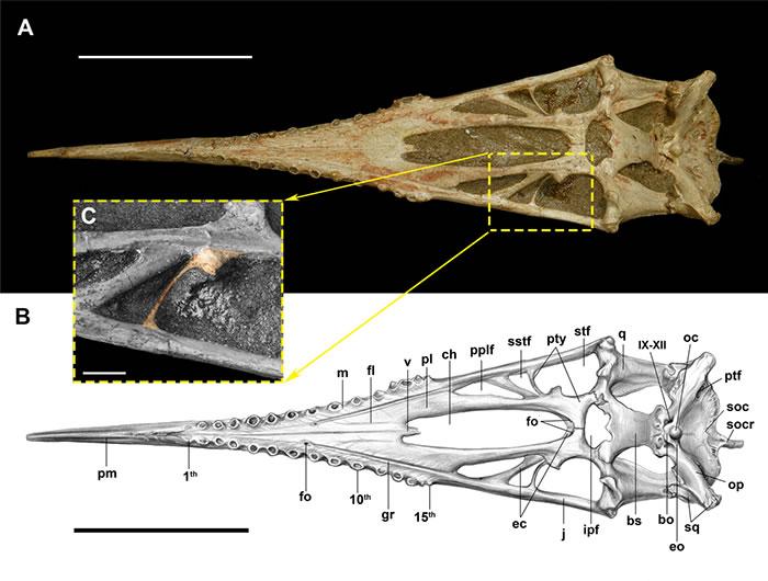 三维立体保存的魏氏准噶尔翼龙腭区腹视图 (IVPP V 4063)