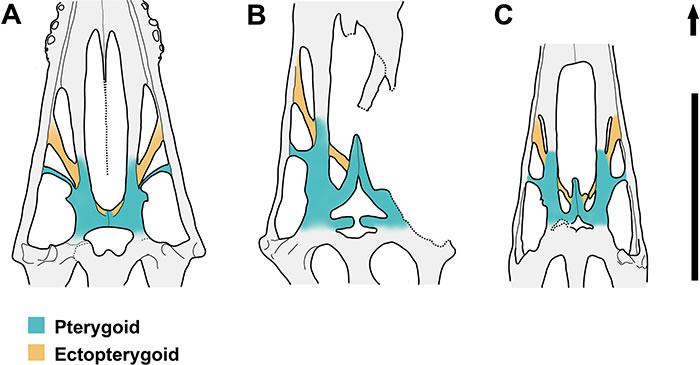 准噶尔翼龙(A)与神龙翼龙类的妖精翼龙(B)和女神翼龙(C)颚区对比