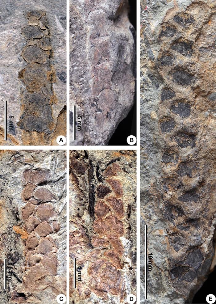广西云南早泥盆世地层中发现同种工蕨类植物化