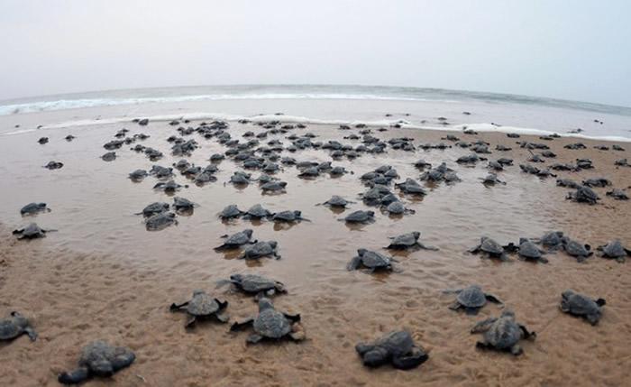 印度奥里萨邦空无一人的沙滩出现大群丽龟(榄蠵龟)集体产卵