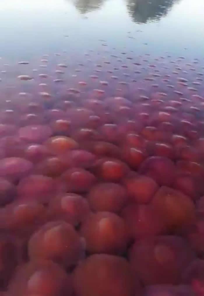 """澳洲格里菲斯大学海洋生物学博士在菲律宾巴拉望岛海滩发现数千只""""海番茄""""水母漂流"""