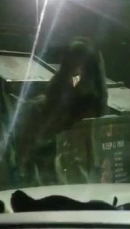 美国田纳西州塞维尔县加特林堡饥饿黑熊闯油站跳入垃圾箱翻找食物