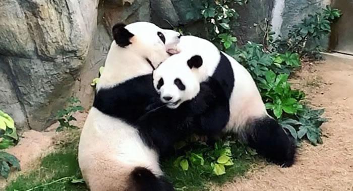 香港海洋公园因冠状病毒隔离检疫关闭 大熊猫盈盈和乐乐终于交配
