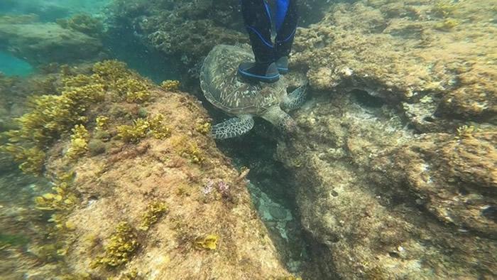 游客在小琉球浮潜踩海龟