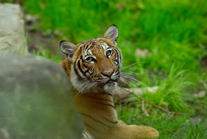 2017年摄于布朗克斯动物园的马来亚虎。 纽约布朗克斯动物园出现第一例被验出COVID-19呈阳性反应的老虎,是园内的马来亚虎娜迪亚。 另外还有六只大型猫科动物