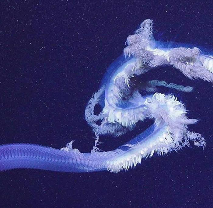 宁格罗海底峡谷拍摄到有史以来最大管水母