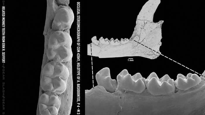 牙齿化石研究暗示有不同的远古猴子穿越一大片水体在新大陆上生活过