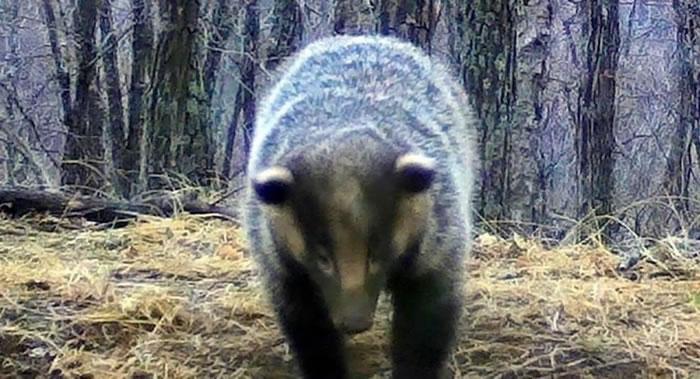 """俄罗斯滨海边疆区""""豹之乡""""国家公园从冬眠中睡醒的亚洲狗獾"""